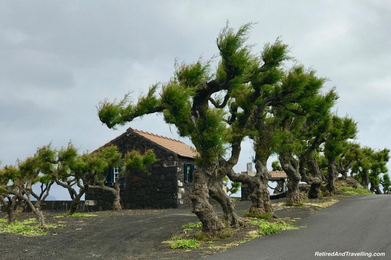 Azores Pico Island Iconic Windblown Trees.jpg
