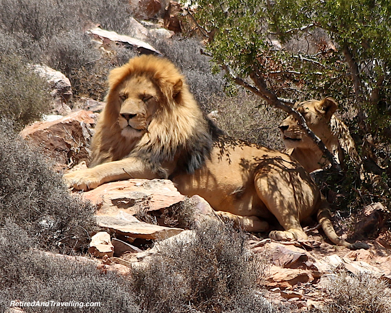Lion Animal Encounters - Reasons To Visit Cape Town.jpg