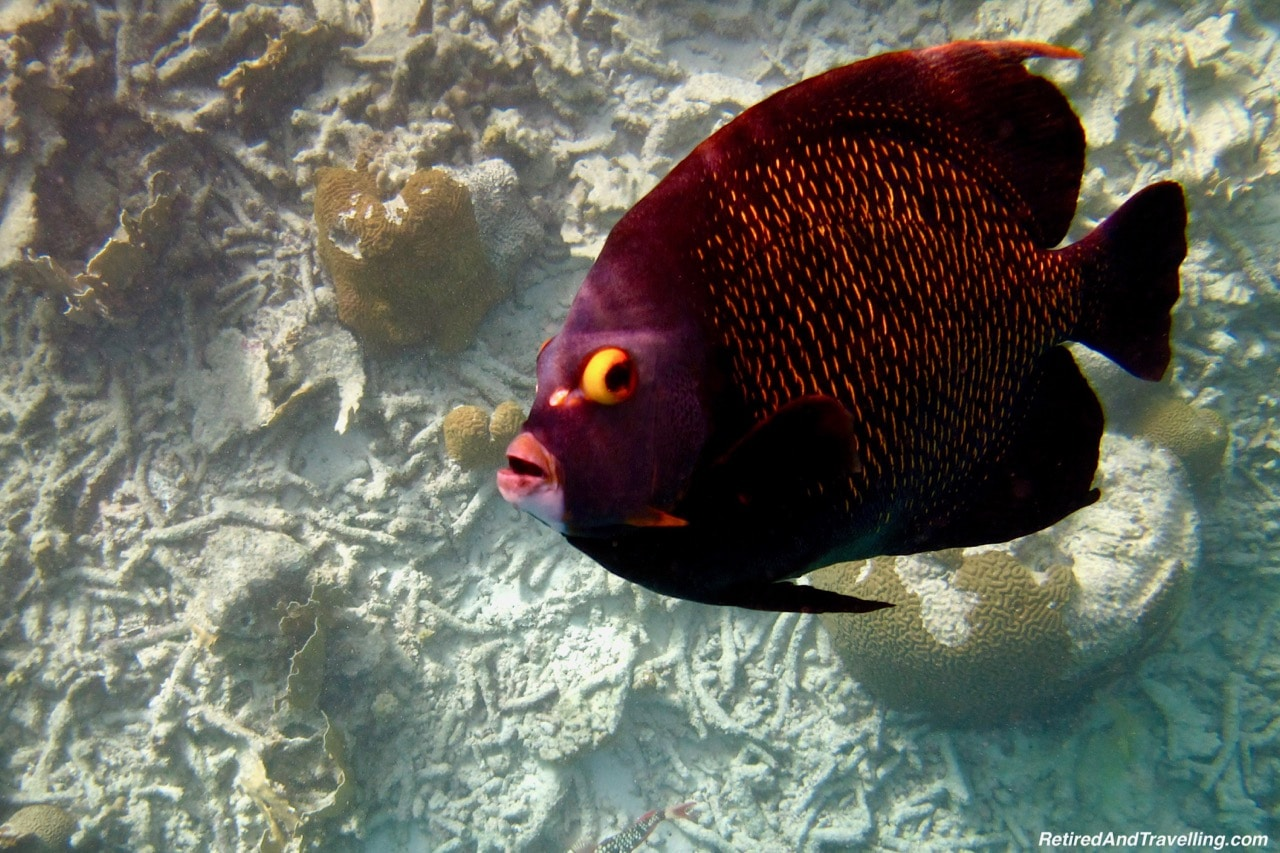 Klien Bonaire Beach Snorkel Angel Fish - Visit The ABC Islands.jpg