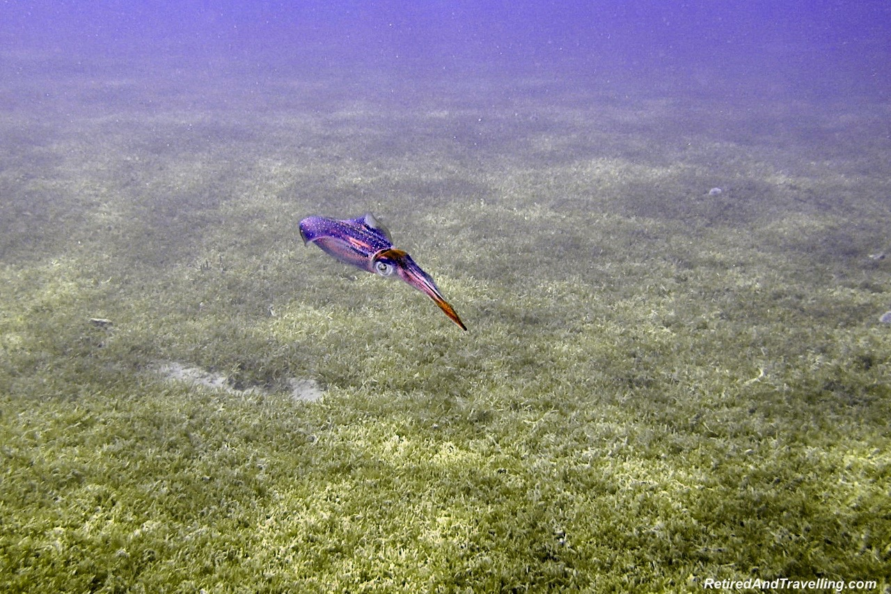 Squid- Scuba Dive Under The Pitons In St. Lucia.jpg