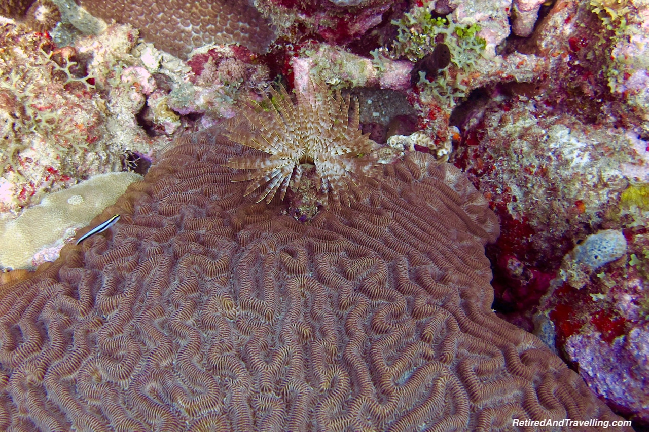 Brain Coral - Scuba Diving in Grenada.jpg