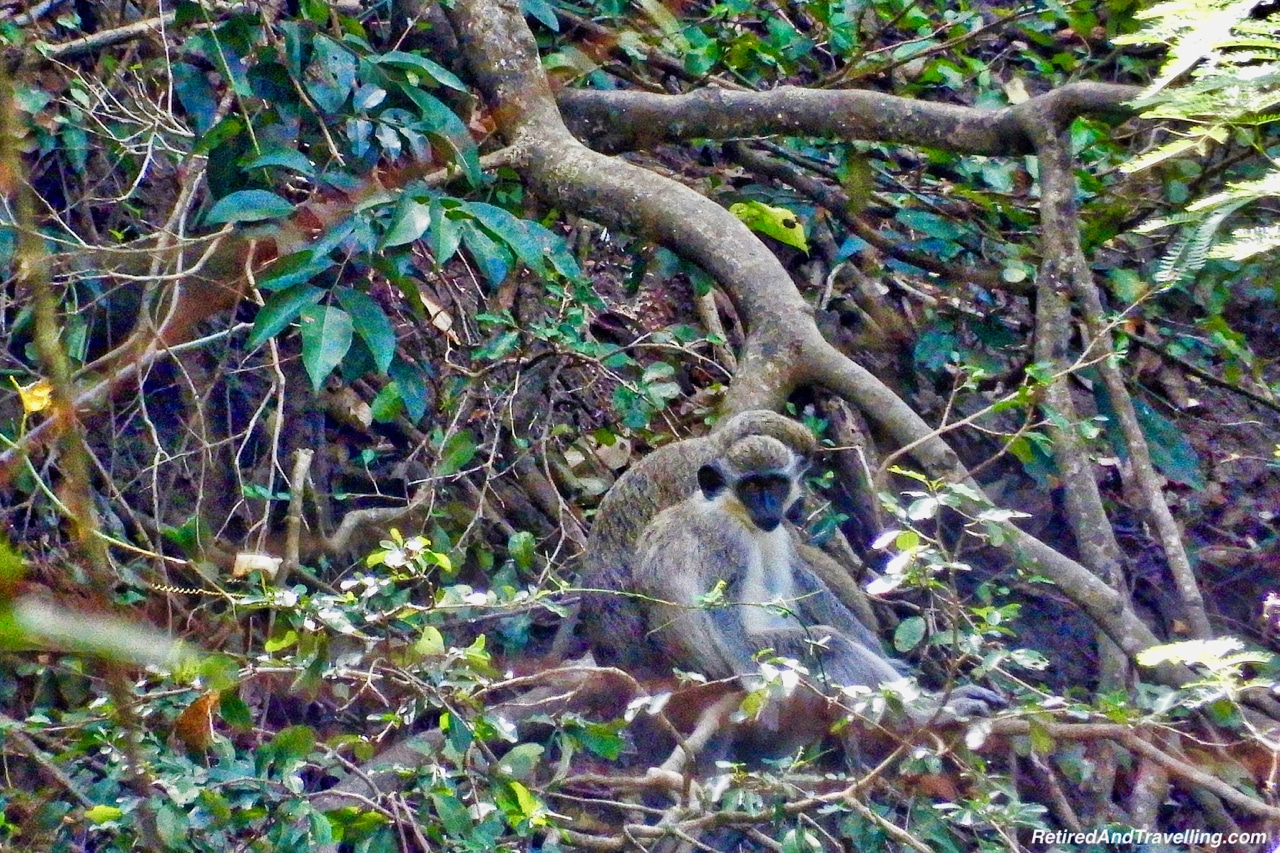 Monkeys on Wingfield Estates Cane Processing - Zipline Ride In St Kitts.jpg