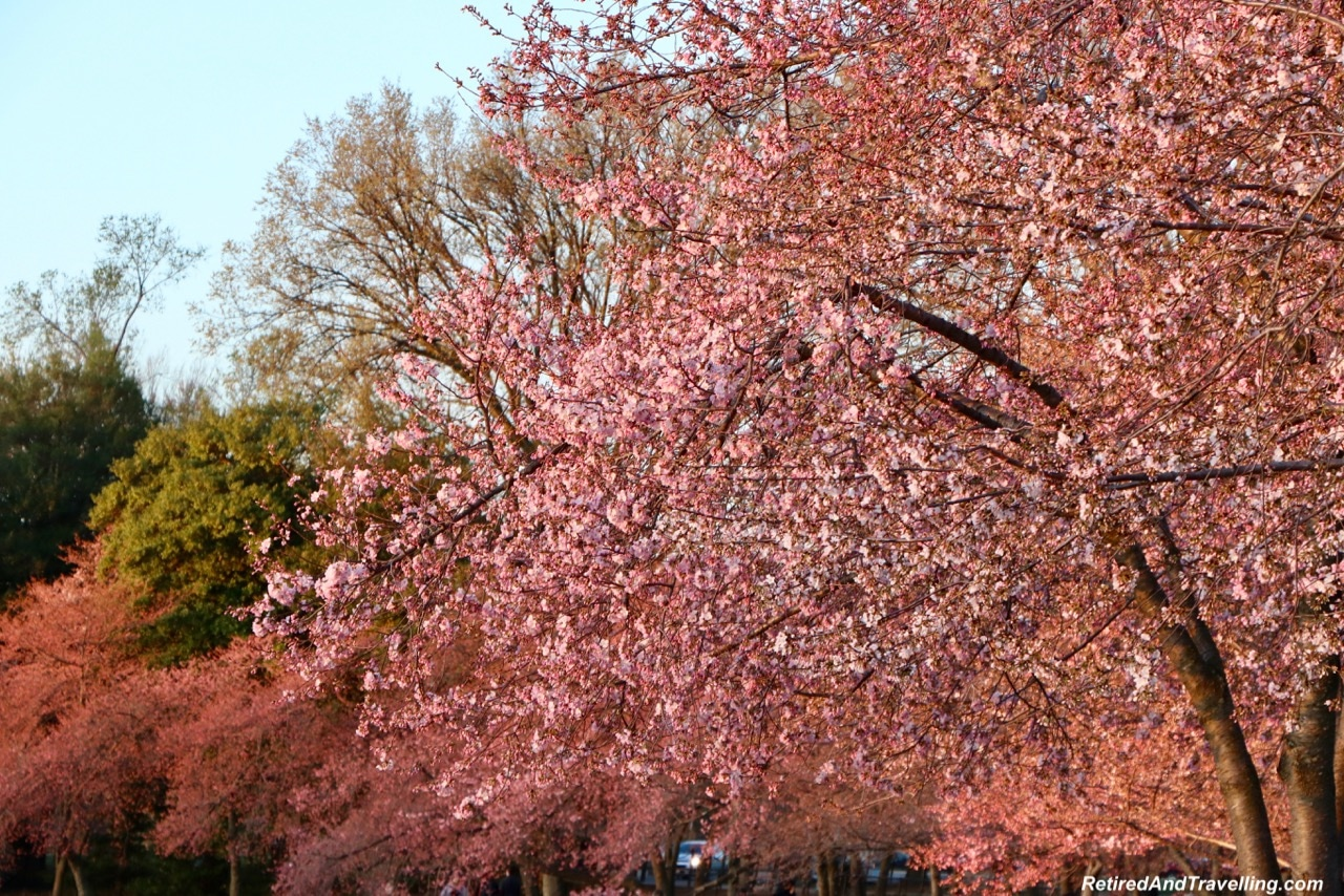 Cherry Blossoms Sunrise - Experience Cherry Blossoms In Washington DC.jpg