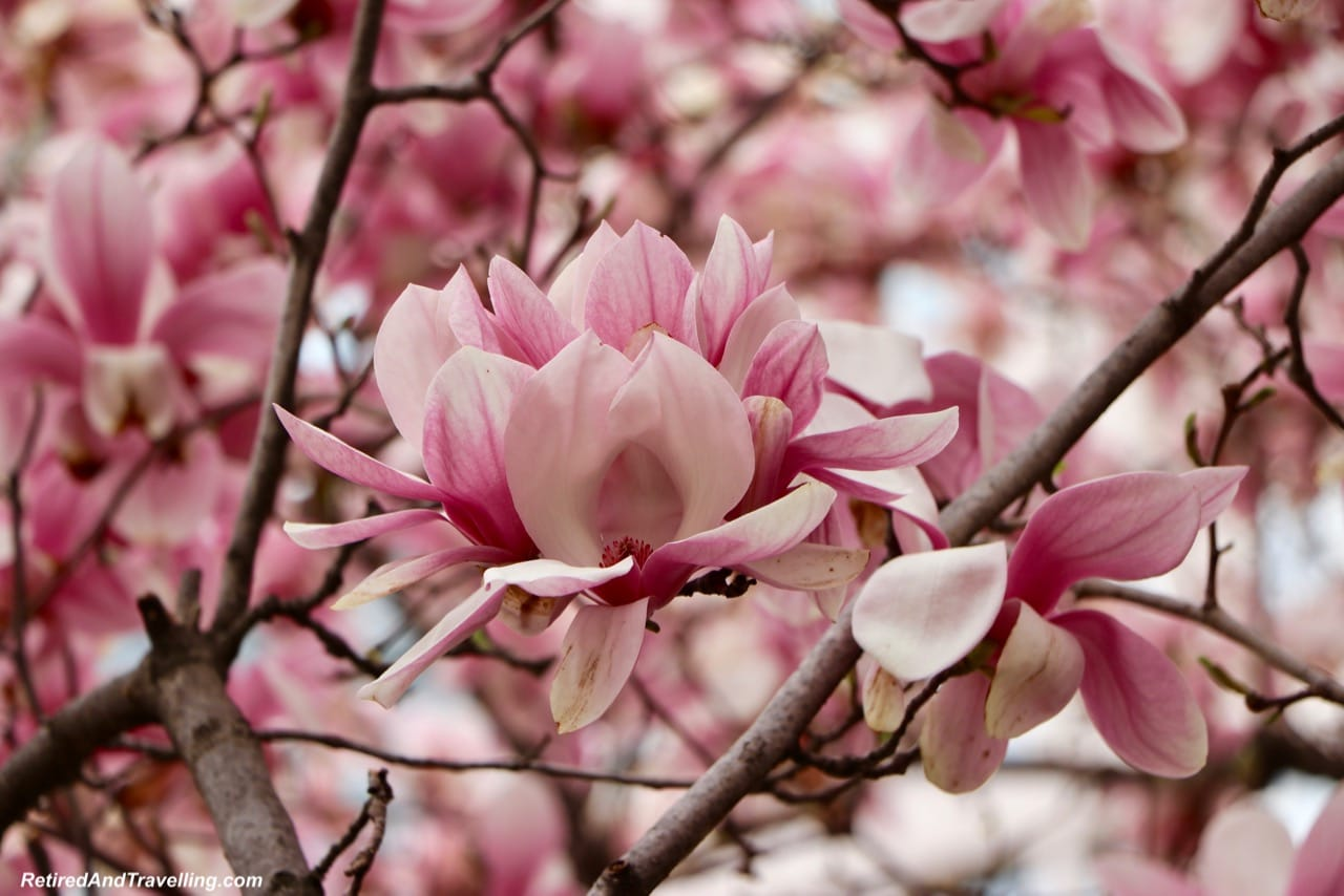 Magnolia Blossom Up Close - Experience Cherry Blossoms In Washington DC.jpg