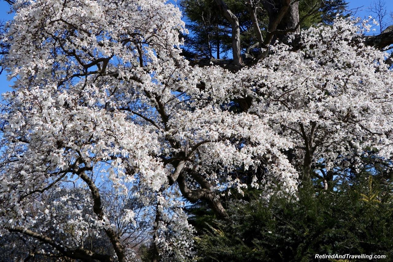 Dumbarton Oak Gardens White Cherry Blossoms - Experience Cherry Blossoms In Washington DC.jpg