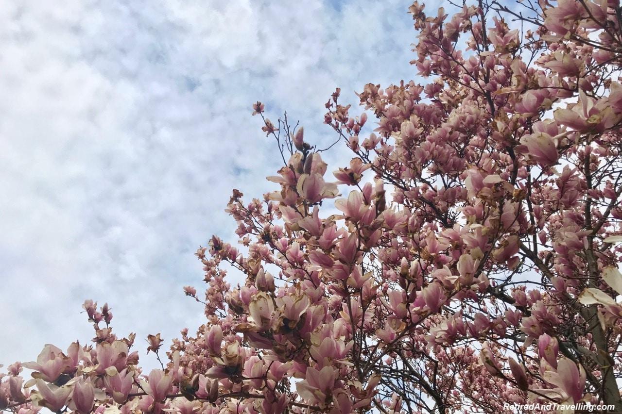 Magnolia Blossom Up Close - Experience Cherry Blossoms In Washington DC.jpg