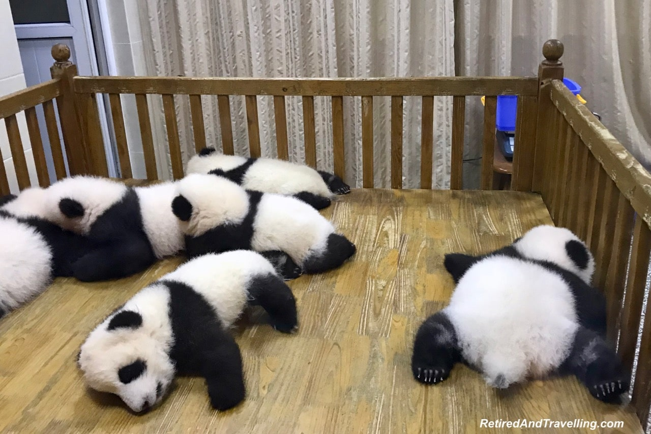 Panda Babies - Cute Panda Bears In Chengdu China.jpg