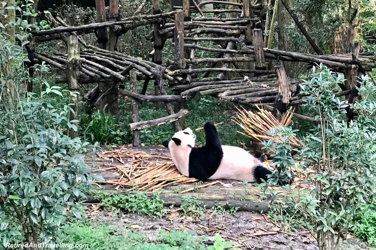 Pandas Eat Bamboo Shoots - Cute Panda Bears In Chengdu China.jpg