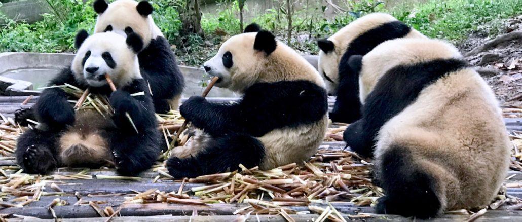 Cute Panda Bears In Chengdu China.jpg