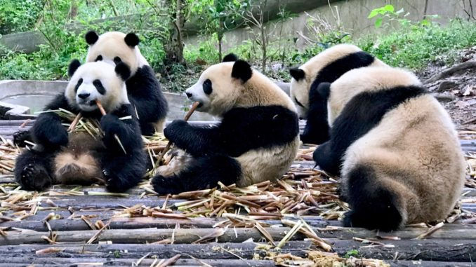 Cute Panda Bears In Chengdu China.jpg