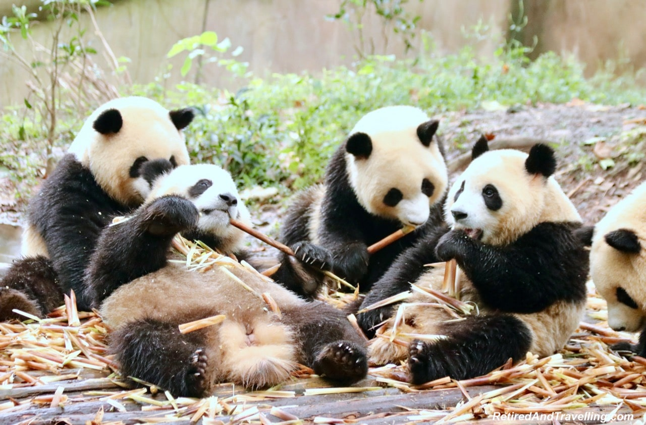 Pandas Eat Bamboo Shoots - Cute Panda Bears In Chengdu China.jpg