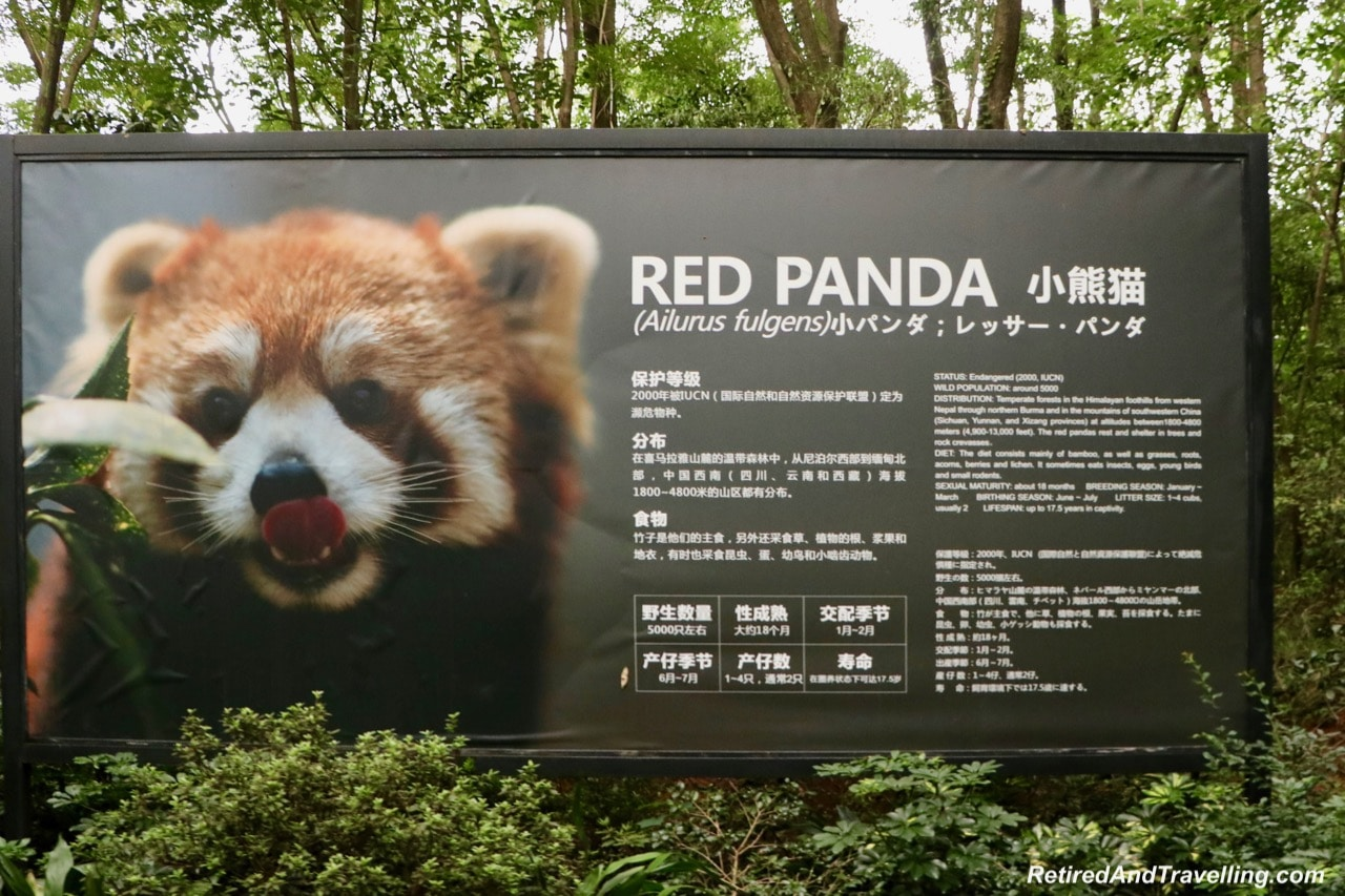 Red Pandas - Cute Panda Bears In Chengdu China.jpg
