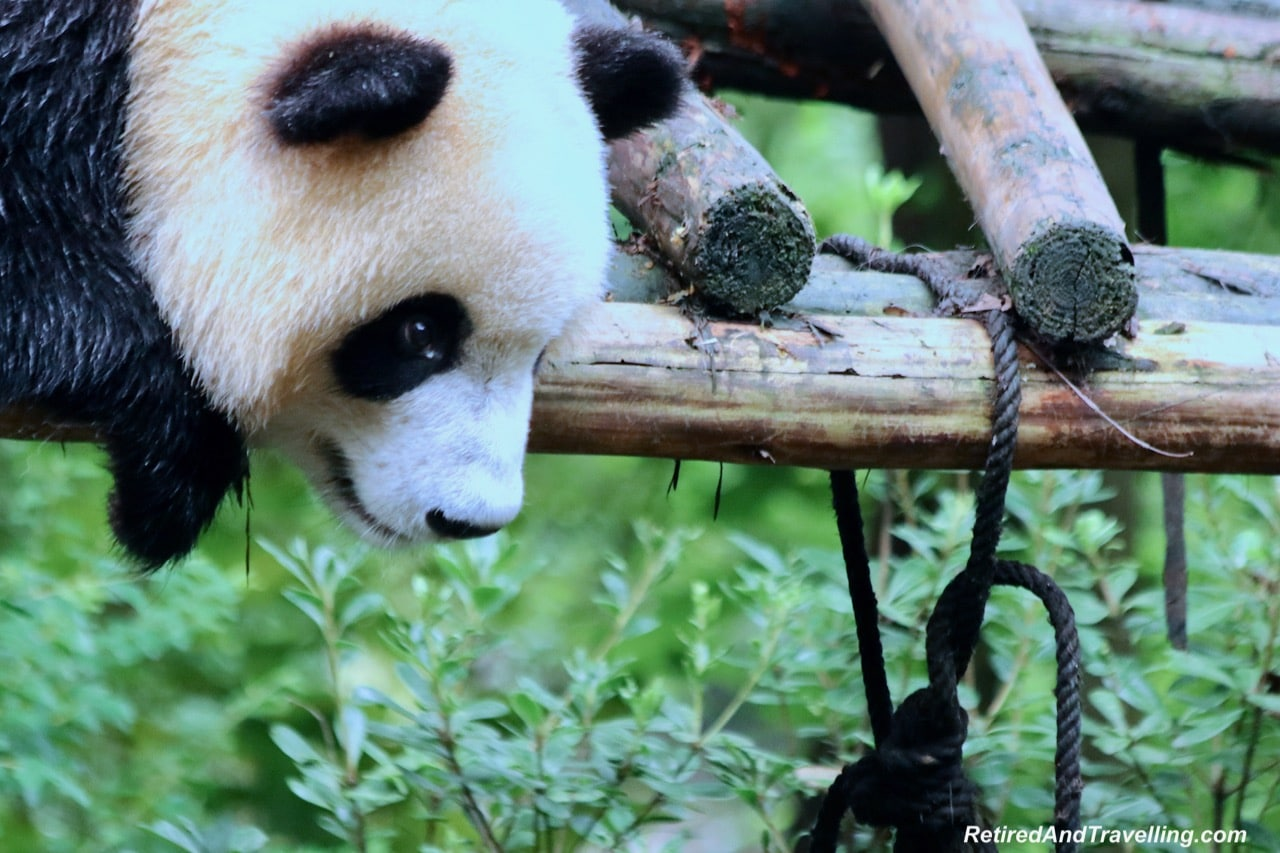 Pandas Play - Cute Panda Bears In Chengdu China.jpg