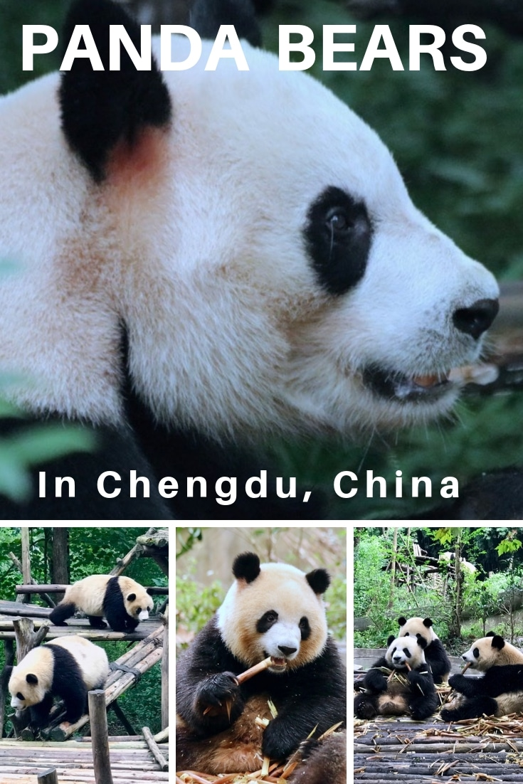 Panda bears in Chengdu on a tour of China with Viking Cruises.jpg