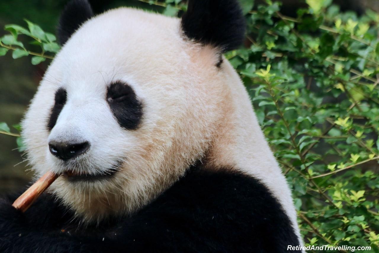 China Panda Bears Chengdu - Look Back At Travel In 2018.jpg
