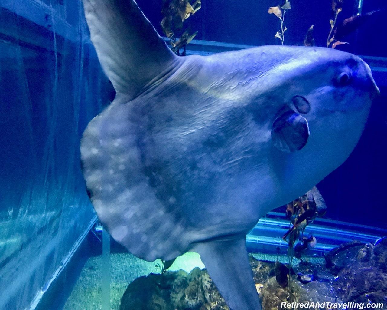 Sunfish - Whale Sharks at the Osaka Kaiyukan Aquarium.jpg