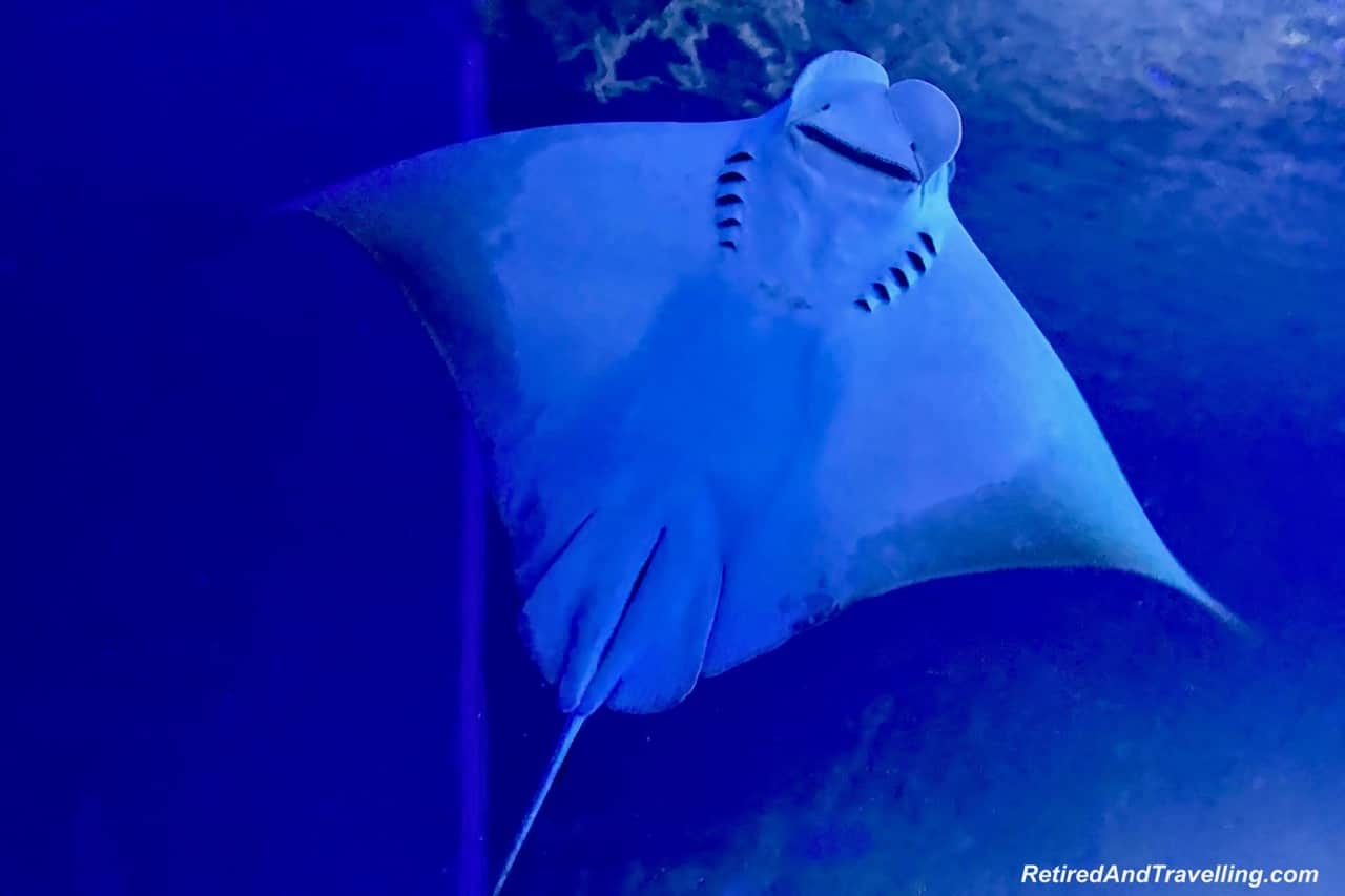 Cownose Ray - Whale Sharks at the Osaka Kaiyukan Aquarium.jpg