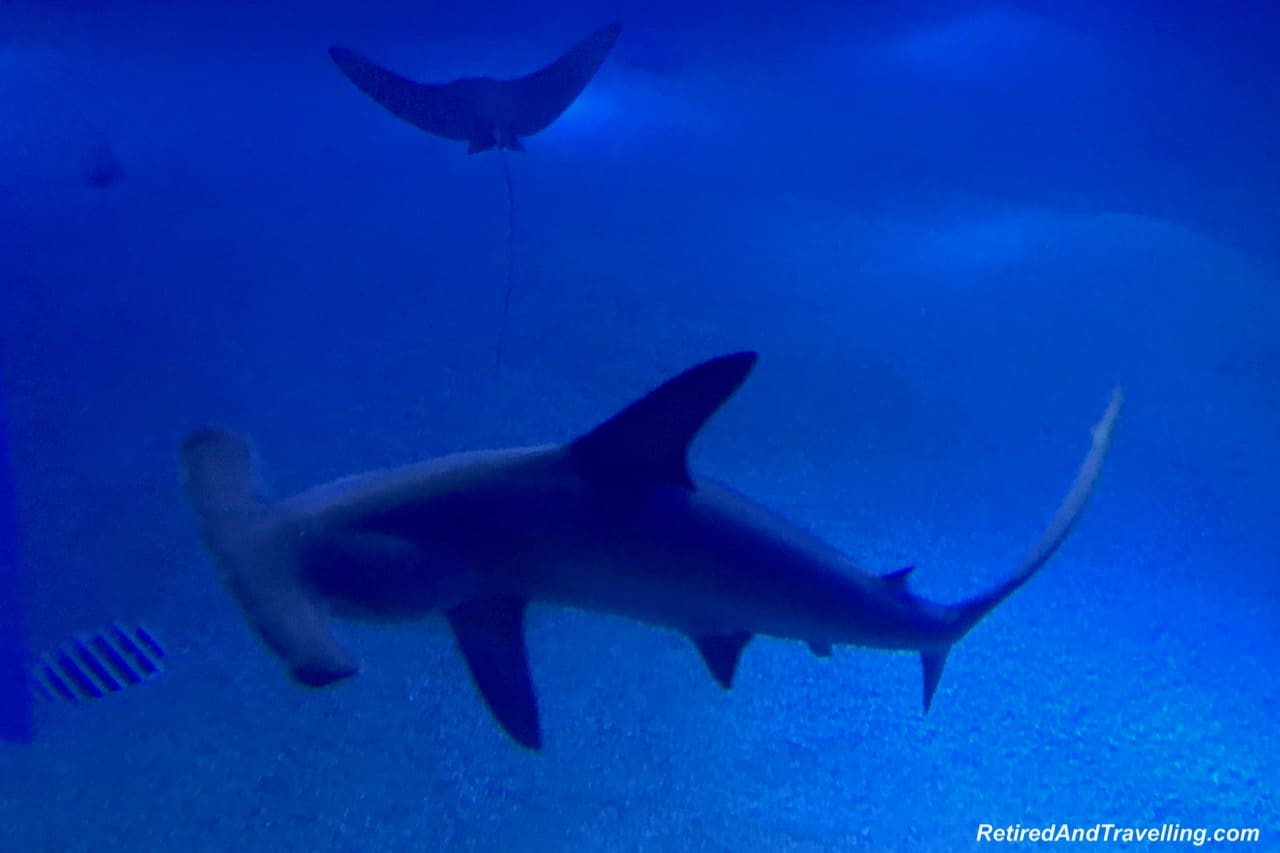 Scalloped Hammerhead Shark - Whale Sharks at the Osaka Kaiyukan Aquarium.jpg