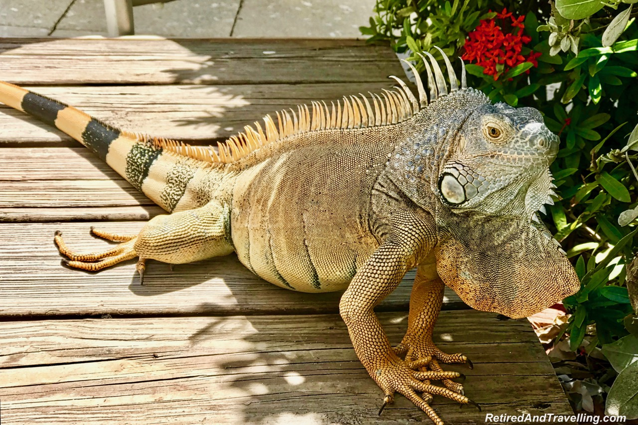 Iguana - Things To Do In Grand Cayman.jpg