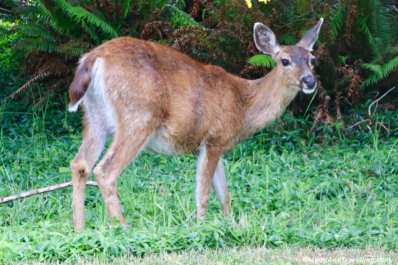 Island Deer - Wildlife And Whales On Vancouver Island.jpg
