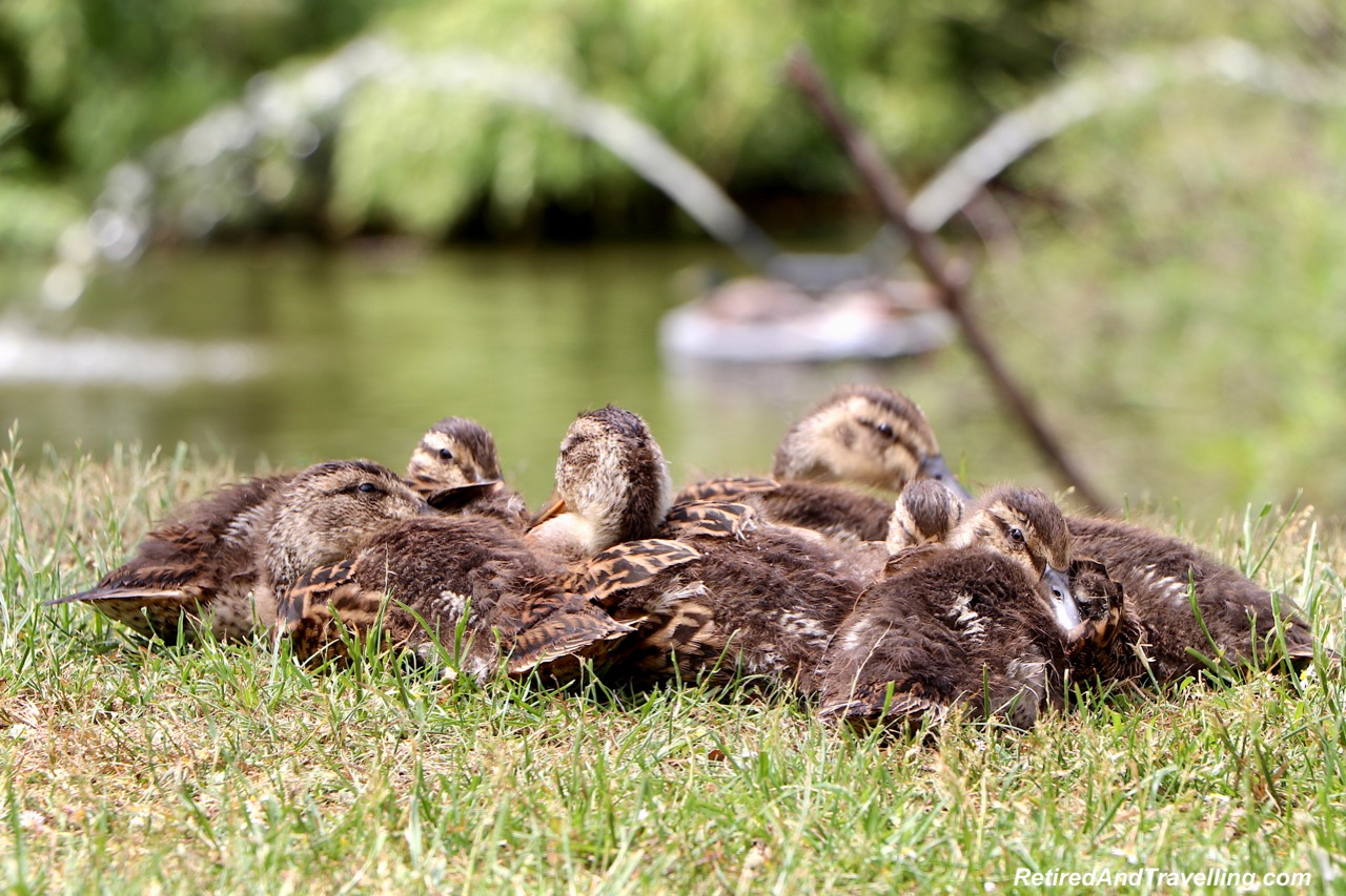Pond Ducks - North Island Wildlife Recovery Centre.jpg