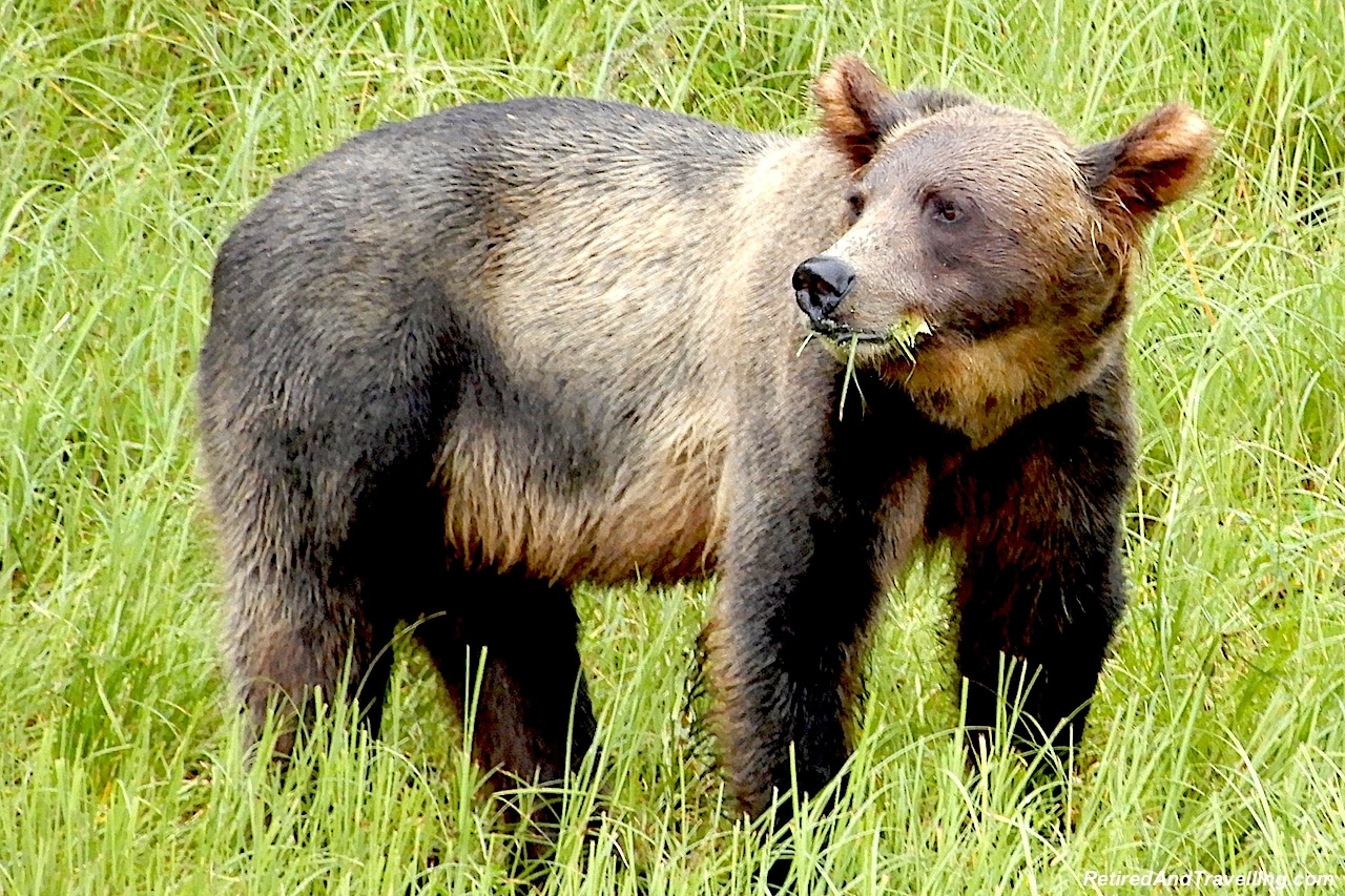 Alaska Grizzly Brown Bear.jpg