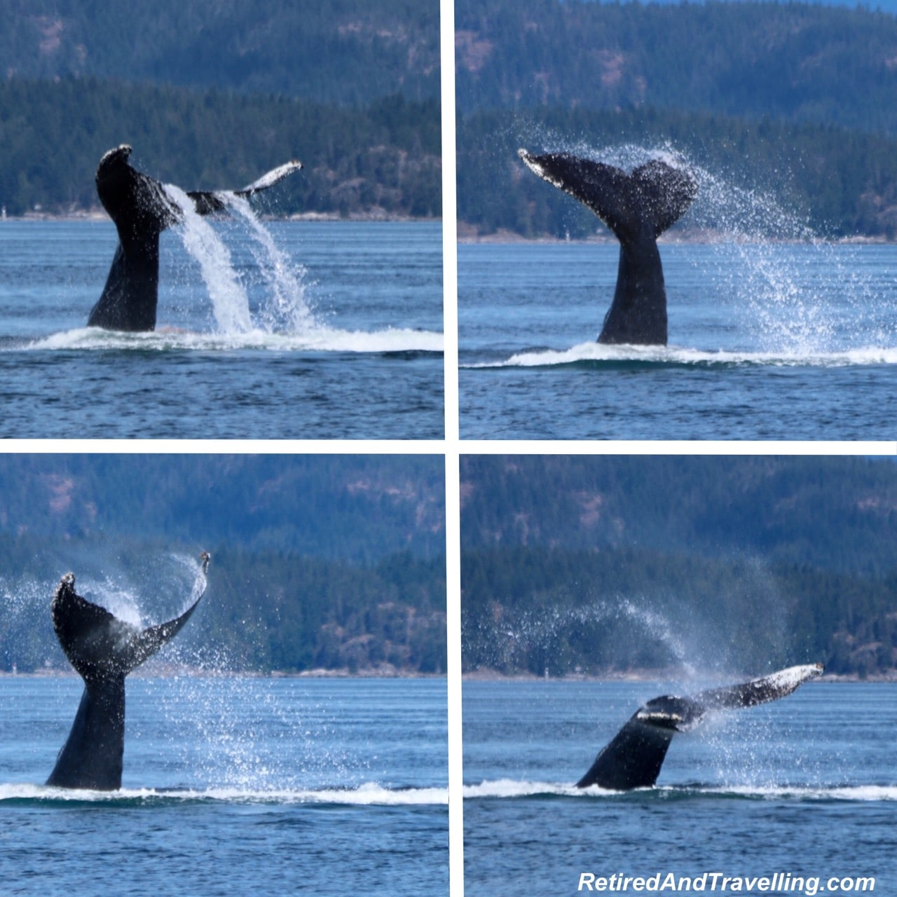 Tail Splash Humpback Whale Watching Adventure Quest Canada - Wildlife And Whales On Vancouver Island.jpg