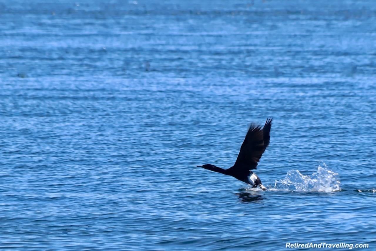 Cormorant Bird Mitlenatch Island.jpg
