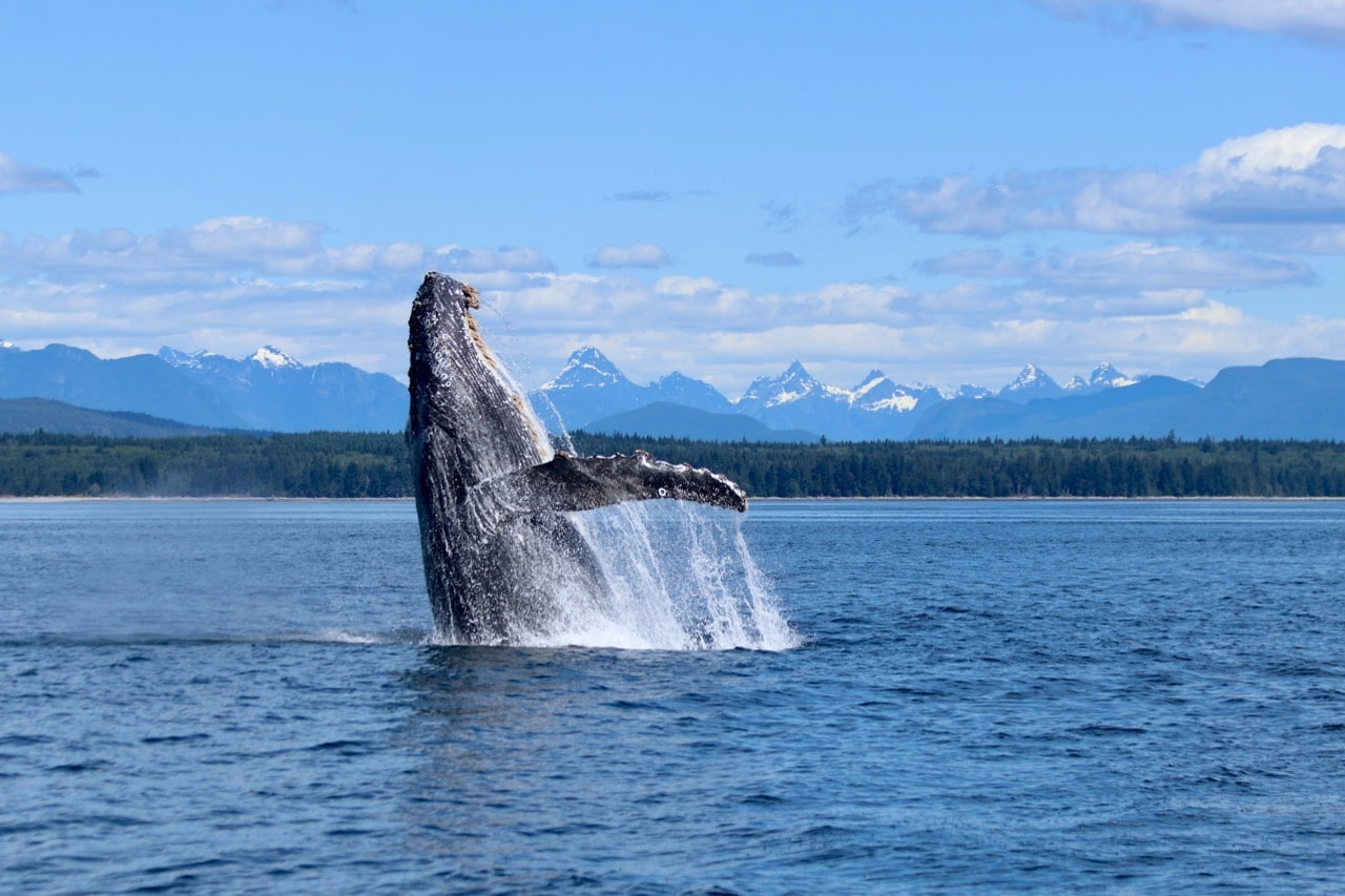 Campbell River Whale Watching - Sea to Sea on Vancouver Island.jpg